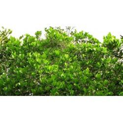 bois bandé-arbre de bois bandé-richeria-grandis