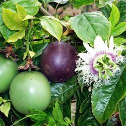 punch rhum passion-Fruit-de-la-passion-Punch Passion-Délices de Guyane-lileoumerveilles.com